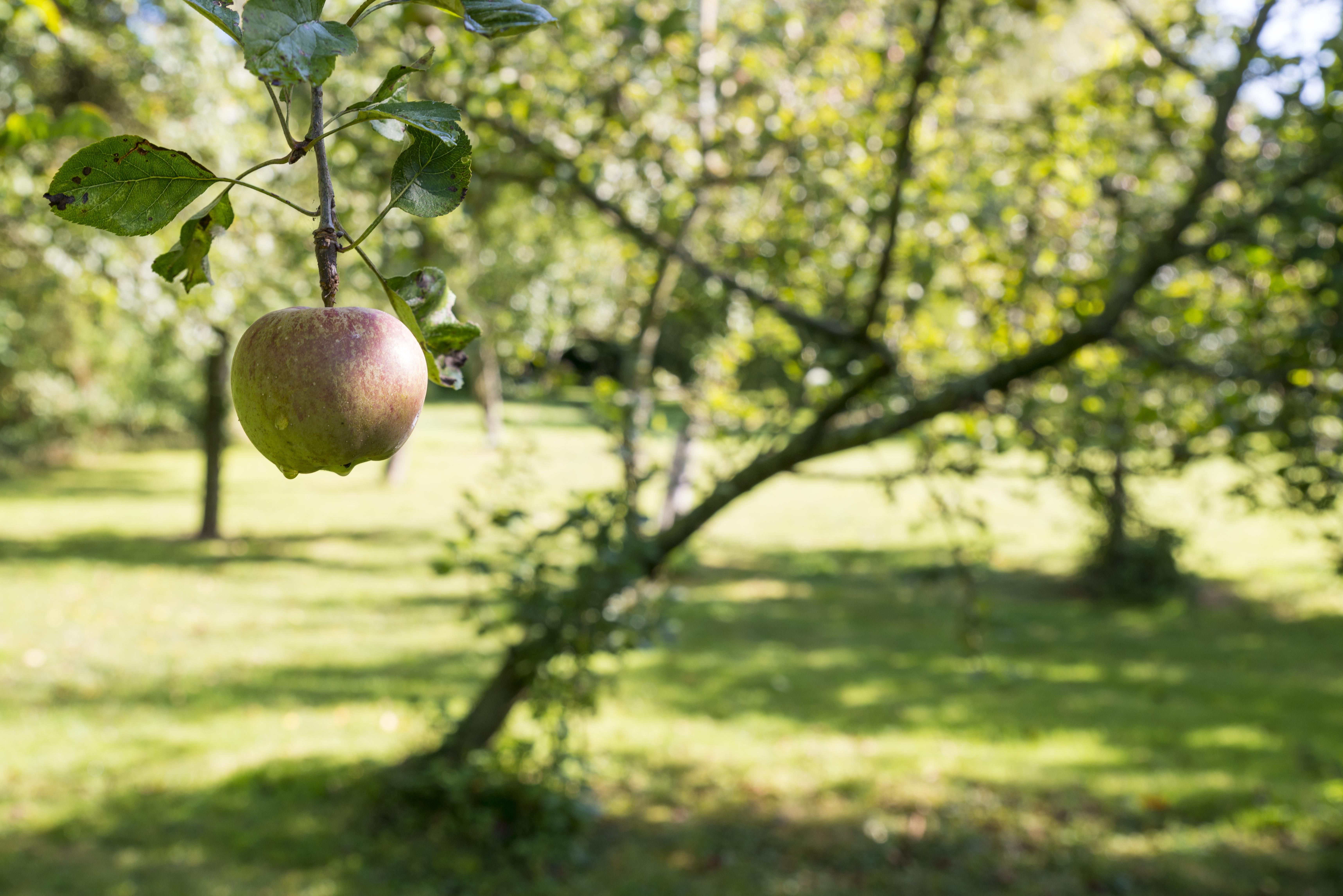 Pomme au gîte Verger de la Maulière